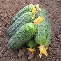 Беттина F1 - семена огурца партенокарпического 500 семян, Bayer
