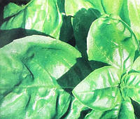 Cемена Базилика 100гр  сорт Зеленый  Неополитано