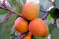 Саженцы абрикоса  'Мелитопольский  ранний'