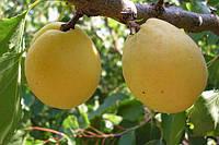 "Саженцы абрикоса ""Лимонка"""