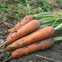 МАЦУРИ F1 (KS 7 F1) - семена моркови Шантане 10 000 семян, Kitano Seeds