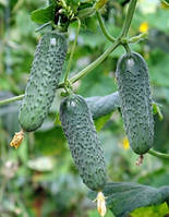 Семена огурца Мадита F1 250 шт. самоопыляемый
