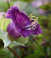 Семена - цветы Кобея, 1 г