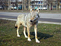 Чучело волка целого