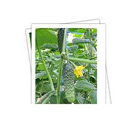 Семена огурцов Лютояр F1, Yuksel, упаковки 500 семян