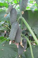 Семена огурца Директор F1, Nunhems Zaden (Нунемс), упаковка 1000 семян