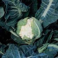 Семена капусты Кортес F1, гибрид цветной капусты, Syngenta (Сингента), упаковка 2500 семян