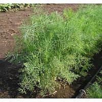 Семена укропа Дилл 0,5 кг