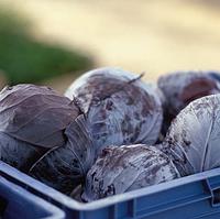 Родима F1 - семена капусты краснокочанной калиброванные 1 000 семян, Rijk Zwaan