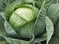 "Семена - Капуста для длительного хранения "" Каунт F1"" ТМ Клоз (Clause) Франция, 10 000 семян"