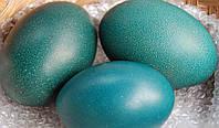 Яйцо страуса Эму, скорлупа,   для декора.