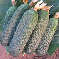 Директор F1 - семена огурца партенокарпического 500 семян, Bayer