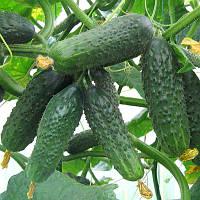 Сатина F1 - семена огурца партенокарпического 1 000 семян, Bayer