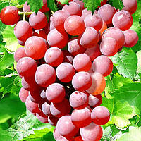 Саженцы винограда  Бодрый ( сверх ранний)