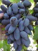 Саженцы винограда Байконур(очень ранний)