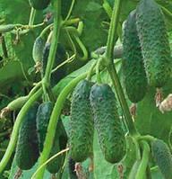 Кибрия F1 - семена партенокарпического огурца 1 000 семян, Rijk Zwaan