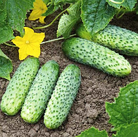 Престо F1 - семена огурца партенокарпического, 1 000 семян, Rijk Zwaan