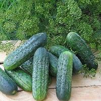 Пучини F1 - семена огурца партенокарпического, 10 грамм, Rijk Zwaan