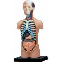 Объемная анатомическая модель Торс человека, 4D Master (26051)