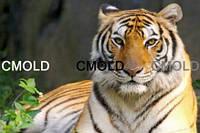"""Алмазная вышивка """"Бенгальский тигр на отдыхе"""""""