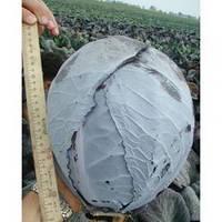 Семена краснокочанной поздней капусты Гаранси F1, Clause (Франция), 1000 семян