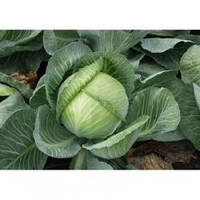 Семена капусты поздней белокочанной Мандарин F1, Clause (Франция), 2500 семян