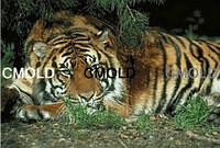 """Алмазная вышивка """"Умиротворенный тигр"""""""
