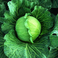 ДИДОНЕ F1 - семена капусты белокачанной ультраранней 2500 семян , Semenis