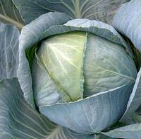 КОЛИЯ F1- семена капусты белокачанной среднепоздней 2500 семян , Semenis