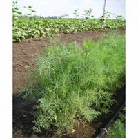 Семена среднераннего укропа Дилл, Clause (Франция), 50 гр.