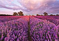 Komar 1-615 Lavendel Фотообои на стену «Цветы лаванда».