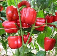 КРАСНЫЙ РЫЦАРЬ F1   - семена перца сладкого 500 семян, Semenis