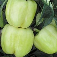 МАРАДОННА F1   - семена перца сладкого 500 семян, Semenis