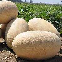 Дыня Амал (Amal F1) Clause - 5 тыс. семян