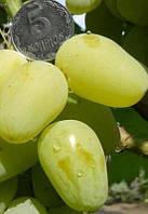 Саженец винограда Гордей (ранний)