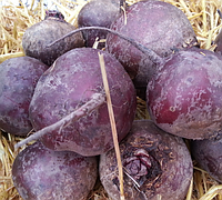 МОНОПОЛИ - семена свеклы столовой 100 000 семян, Syngenta