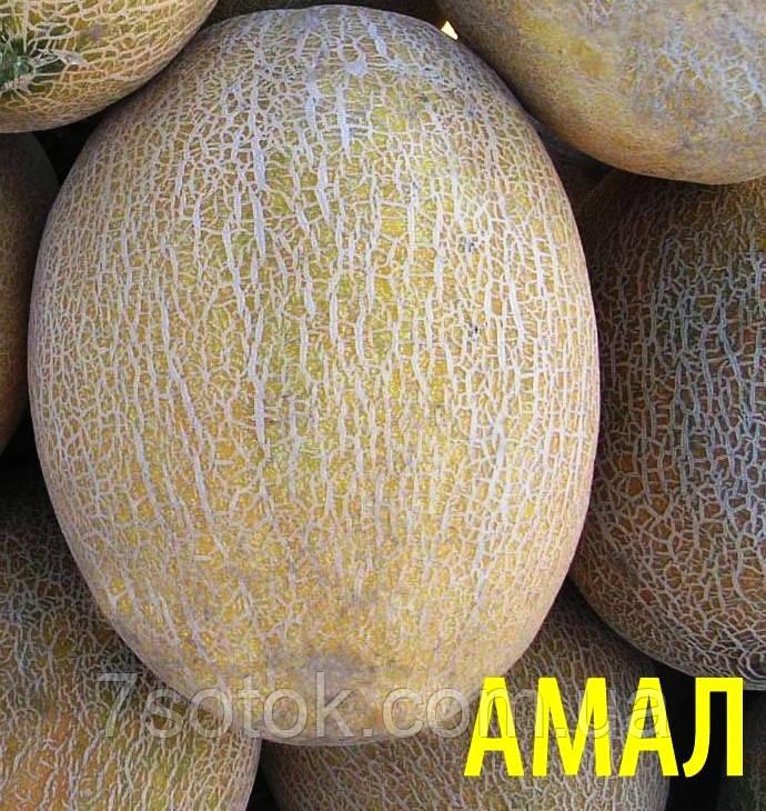 Дыня амал f1 выращивание 97