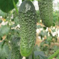 СИГУРД F1 - семена огурца партенокарпического 500 семян, Enza Zaden