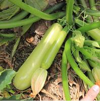 АДЕЛИЯ F1 (E28T00358 F1) - семена кабачка 500 семян, Enza Zaden