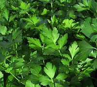 Гиганте де Италия семена петрушки листовой 1 кг