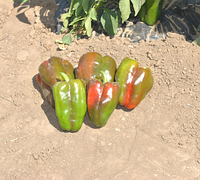 КЛАУДИО F1 - семена перца сладкого 1 000 семян, Nunhems