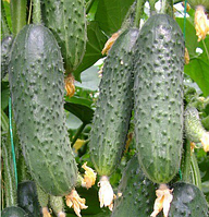 КАПРИКОРН F1 - семена огурца партенокарпического 500 семян, Yuksel Seeds