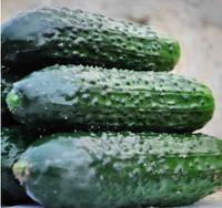 ЛЕГИОН F1 - семена огурца партенокарпического 500 семян, Yuksel Seeds
