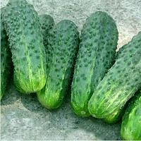 Делпина F1 - семена огурца партенокарпического, 1 000 семян,  Bayer Nunhems
