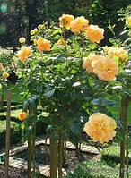 Роза-дерево Лаура Форд
