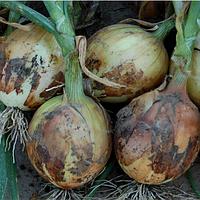 ДЕРБИ F1 - семена лука репчатого 250 000 семян, Bejo Zaden