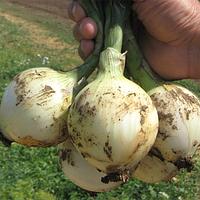 СИБИРЬ - семена лука репчатого озимого  250 000 семян, Bejo Zaden