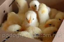 """На заметку птицеводам:""""Обогрев брудера для цыплят, утят, индюшат,... (необходимое тепло для выращивания молодняка птицы)"""""""