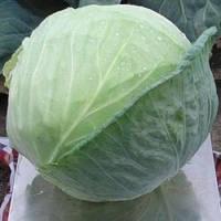 Семена белокочанной средней капусты Браво F1, Clause (Франция), упаковка 10000 семян