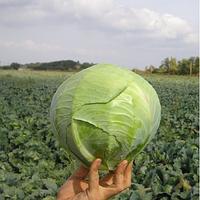Семена капусты белокочанной поздней Каунт F1, Clause (Франция), упаковка 2500 семян
